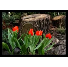 """Fotografia natury """"Czerwone tulipany"""""""